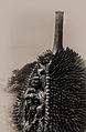 Durian of Davao.jpg
