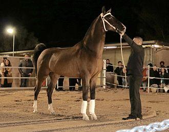 Dutch Harness Horse - Dutch Harness Horse stallion exhibited in the USA