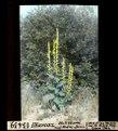 ETH-BIB-Illarsaz, Wollblume auf Rhône-Damm-Dia 247-13439.tif