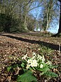 Early primrose at Chase End - geograph.org.uk - 733320.jpg