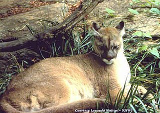 Extinct population of cougar in eastern part of North America