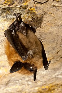 Individ med white nose syndrome.