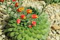 Echeveria setosa-IMG 1625.jpg