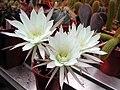 Echinopsis ancistrophora subsp. anicistrophora1PCJO.jpg