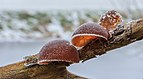 Echt judasoor (Auricularia auricula-judae, synoniem, Hirneola auricula-judae) bedekt met rijp. Locatie, Natuurterrein De Famberhorst 02.jpg