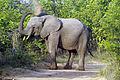 Elephant (Loxodonta Africana) 02.jpg