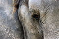 Elephant eye 2012.JPG