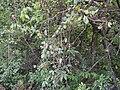Embelia robusta (17146325540).jpg