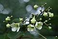 Emmenopterys henryi - flowers.jpg