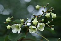 Emmenopterys henryi - flowers
