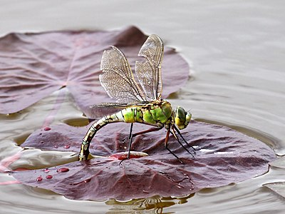 Female Emperor Dragonfly Laying Eggs