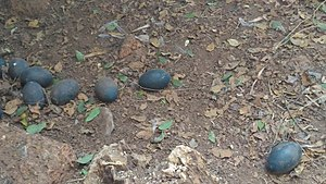 Parassinikkadavu Snake Park - Image: Emu eggs