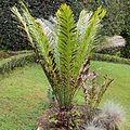 Encephalartos hildebrandtii-IMG 9710.JPG