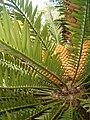 Encephalartos natalensis KirstenboshBotGard09292010D.JPG