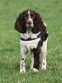 English-Springer-Spaniel-Coffee.jpg