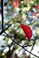 Enkianthus campanulatus - Flickr - odako1 (3).jpg