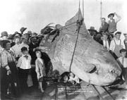 A sunfish caught in 1910, with an estimated weight of 3,500pounds (1,600kg)