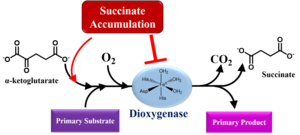 Succinic acid - Accumulated succinate inhibits dioxygenases, such as histone and DNA demethylases or prolyl hydroxylases, by competitive inhibition. Thus, succinate modifies the epigenic landscape and regulates gene expression.