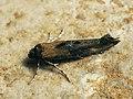 Epermenia chaerophyllella (39048914420).jpg