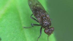 File:Ephydridae - 2014-09-22.webm