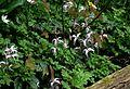 Epimedium leptorrhizum ^ Adoxa moschatellina - Flickr - peganum.jpg