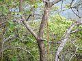 Eriolaena quinquelocularis (7197997410).jpg