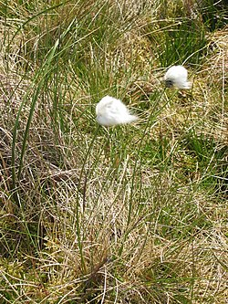 Eriophorum brachyantherum.jpg