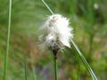 Eriophorum vaginatum.jpeg