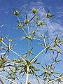 Eryngium campestre sl31.jpg
