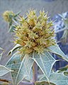 Eryngium maritimum 002 cropped.jpg