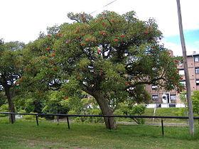Erythrina crista-galli 2-3.jpg