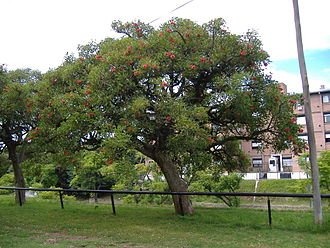 Erythrina crista-galli - A ceibo tree in an urban park in Rosario, Argentina.