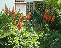 Erythrina humeana, blomme, Manie vd Schijff BT, c.jpg
