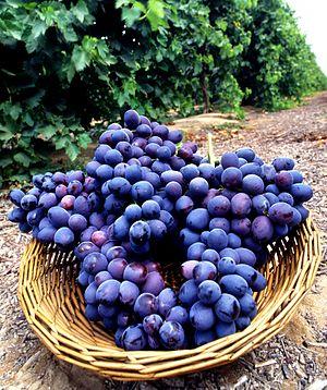 סלסלה בכרם ובה אשכולות ענבים.