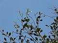 Espadaea amoena — Barry Stock 021.jpg