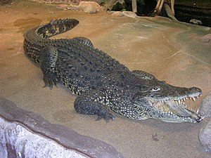 Cuban crocodile - Image: Estocolm 2008 163