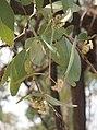 Eucalyptus melanophloia foliage and flowers.jpg