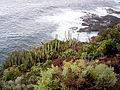 Euphorbia canariensis (Punta cumplida) 03.jpg