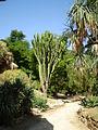 Euphorbia candelabrum - Orto Botanico di Palermo 03.jpg