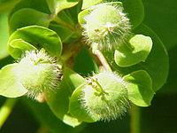 Euphorbia dulcis0
