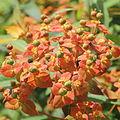 Euphorbia griffithii-IMG 3656.jpg