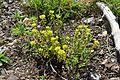 Euphorbia verrucosa in Jardin Botanique de l'Aubrac 02.jpg