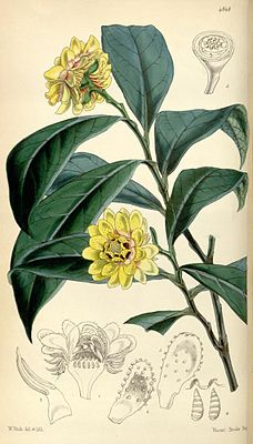 Eupomatia laurina, Illustration.