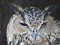 Eurasian eagle-owl 02.jpg