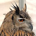 European Eagle Owl Portrait - Side on - London Bridge, London, England - Friday 7th September 2007 (1494992110).jpg