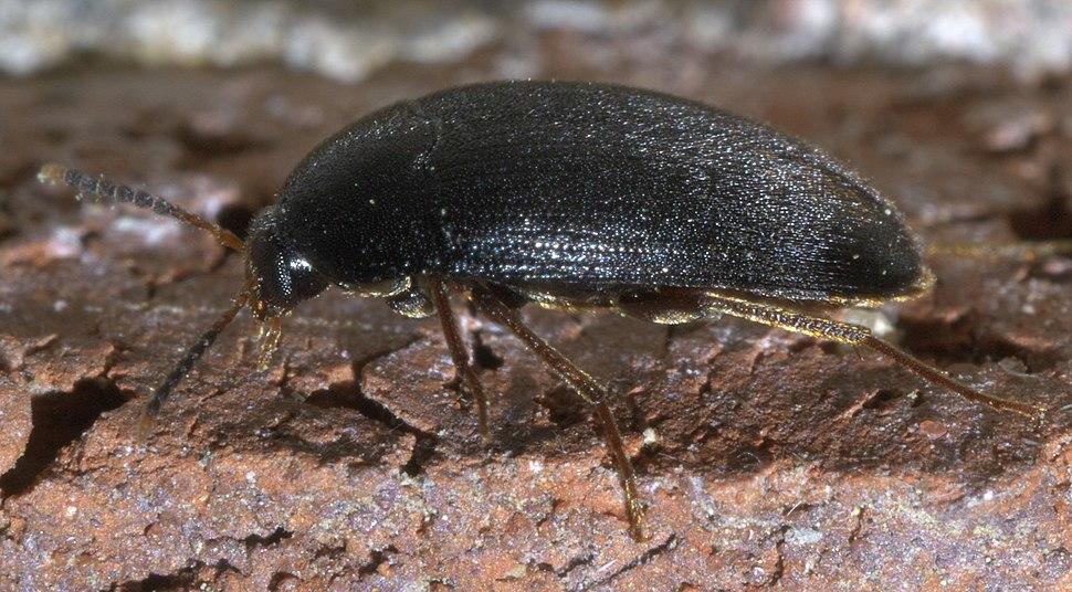 Eustrophopsis bicolor P1580695a