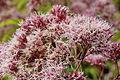 Eutrochium purpureum-IMG 6156.jpg
