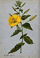 Evening primrose (Oenothera biennis); flowering stem. Waterc Wellcome V0043246.jpg