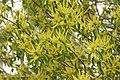 Excoecaria agallocha 08594.jpg