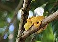 Eyelash Viper, a pit viper in Costa Rica.jpg